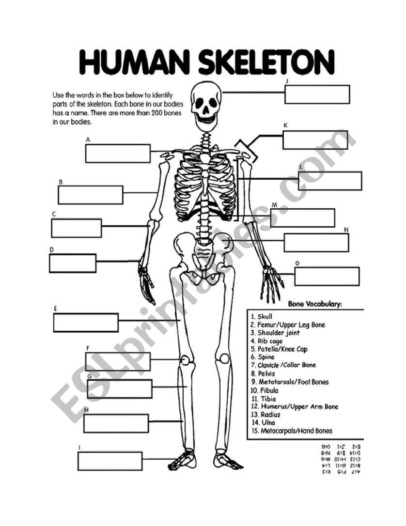 3rd Grade Human Body Worksheets Skeletal System Esl Worksheet by andrea Hart