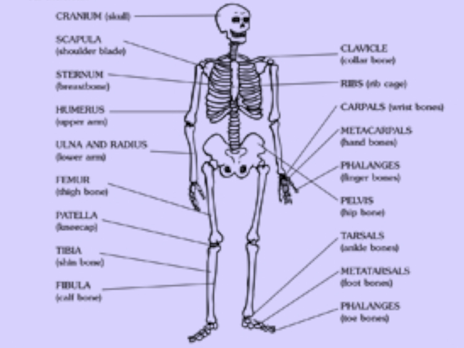 3rd Grade Human Body Worksheets Skeleton Printable Worksheets & Printables