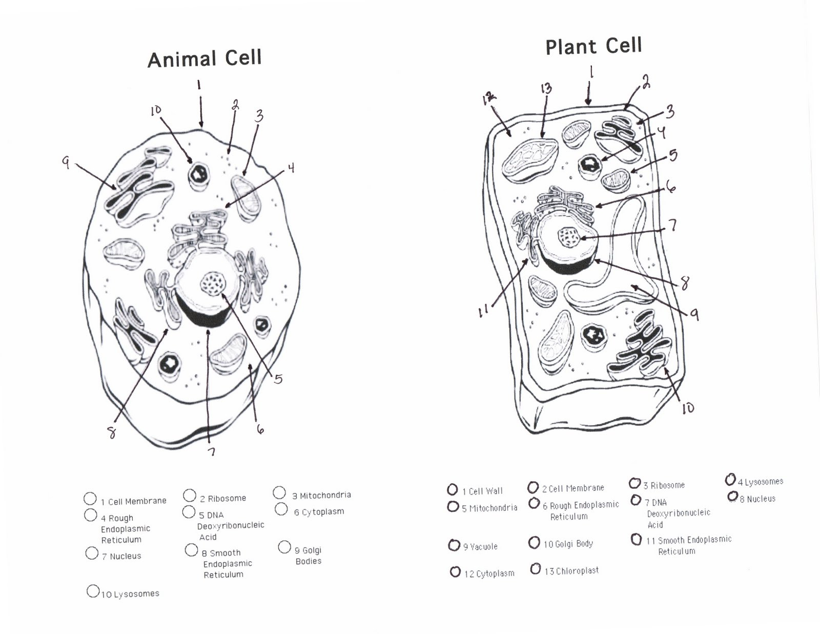 5th Grade Cell Worksheets Animal and Plant Cell Worksheet Answer Key