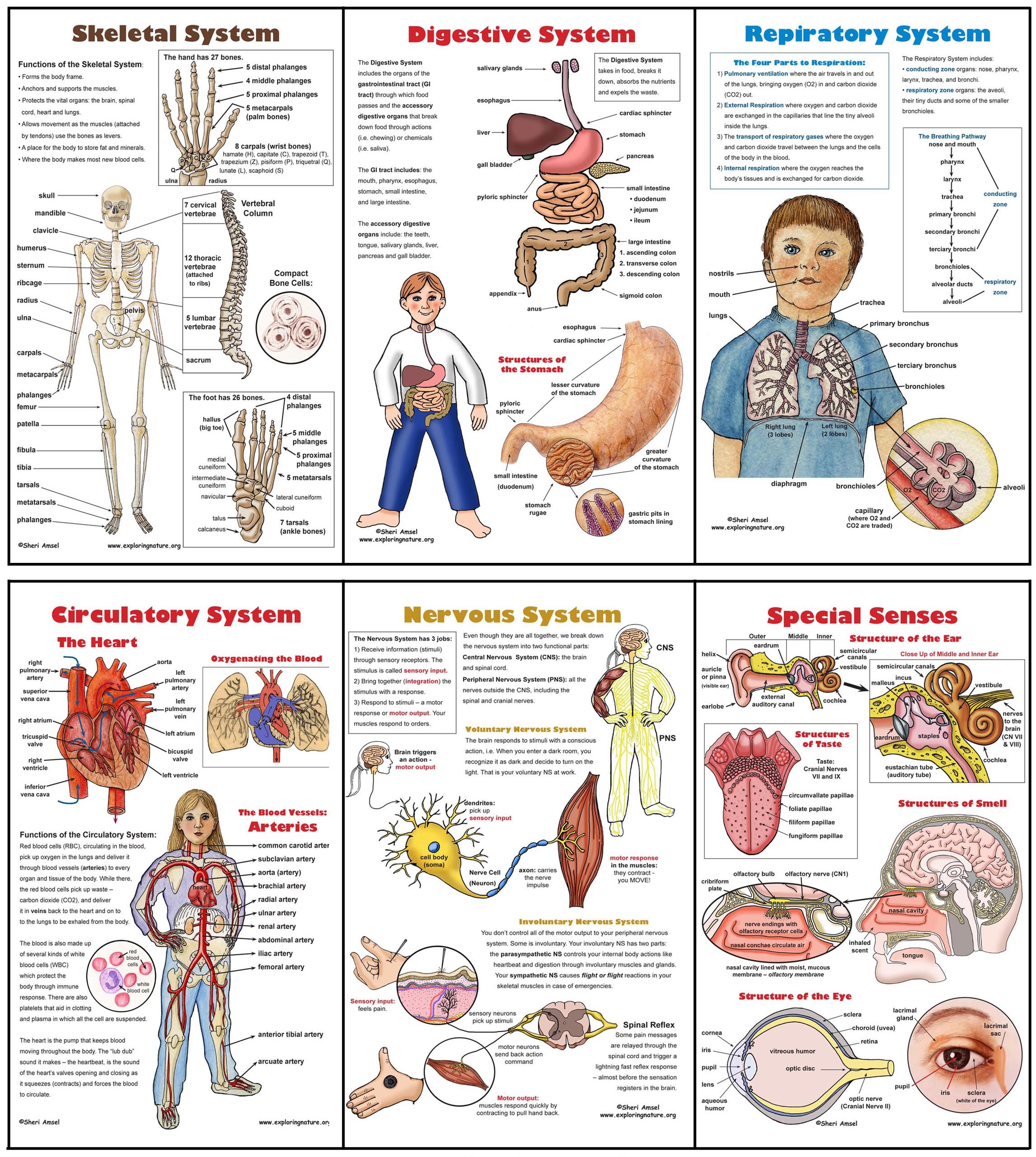 Human Body Worksheets Middle School Body Systems Poster Set 6 Plus Worksheets