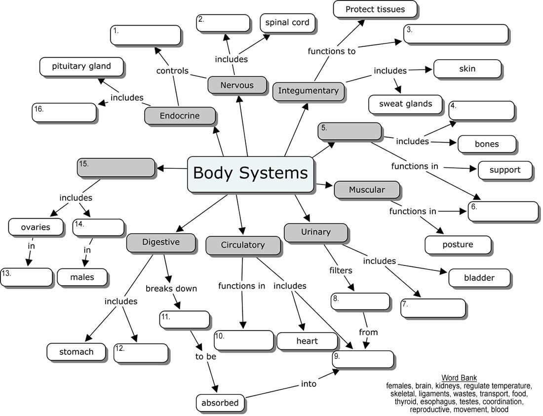 Human Body Worksheets Middle School Human Body organ Systems Worksheet