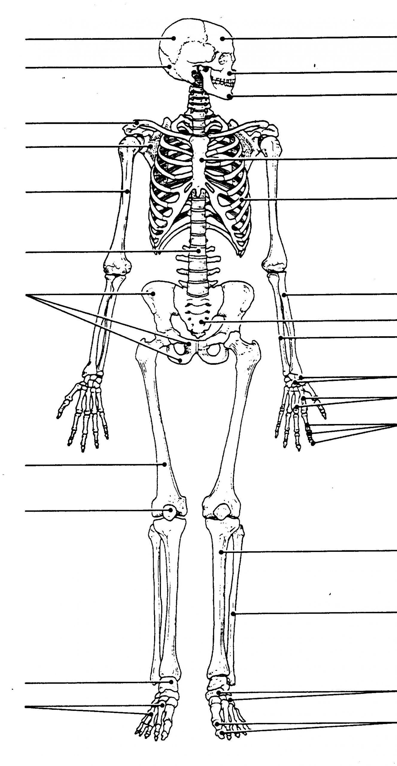 Human Body Worksheets Middle School Human Skeleton Diagram without Labels Human Skeleton