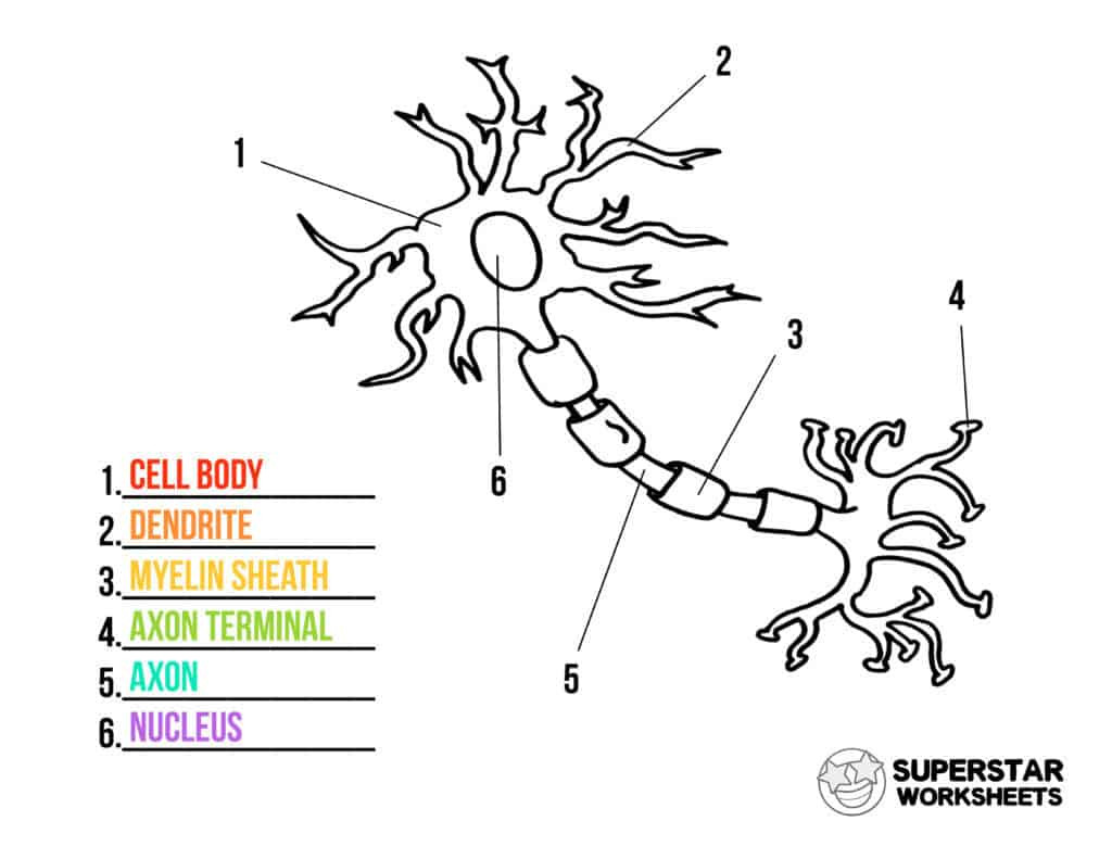 Printable Cell Worksheets Neuron Cell Worksheets Superstar Worksheets