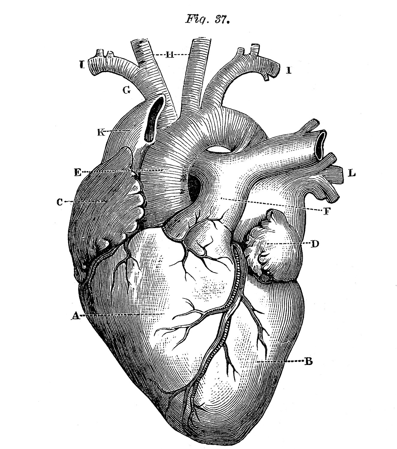 Printable Heart Diagram 6 Anatomical Heart the Graphics Fairy