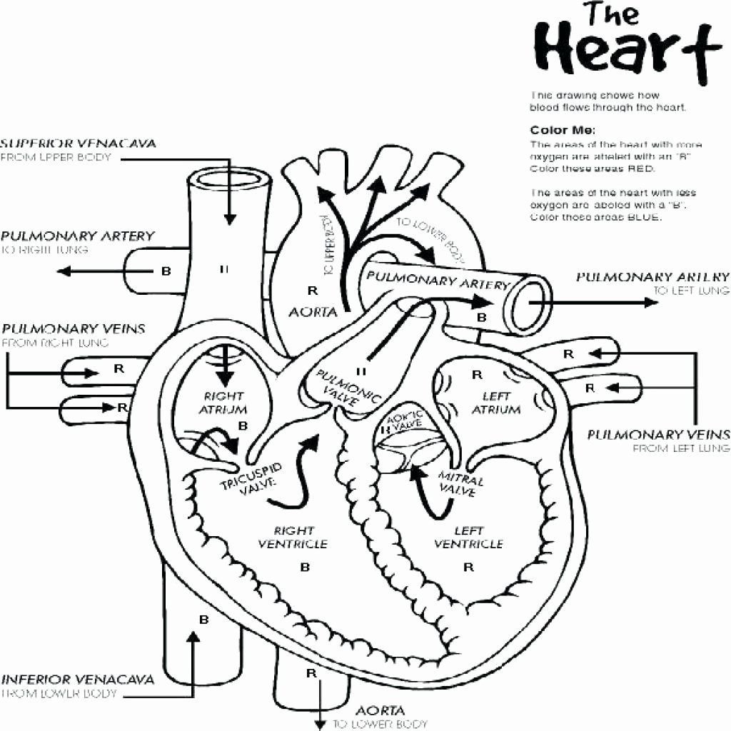 Printable Heart Diagram Anatomy Muscles Coloring Pages Free Heart Diagram Nurse