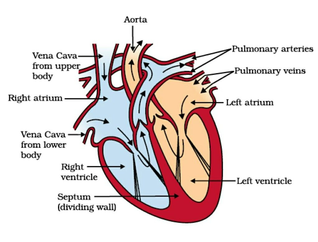 Printable Heart Diagram Diagrams Of Human Heart