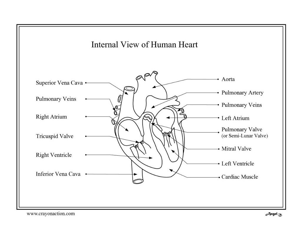Printable Heart Diagram Heart Diagram Coloring Page Lessons Worksheets and Activities