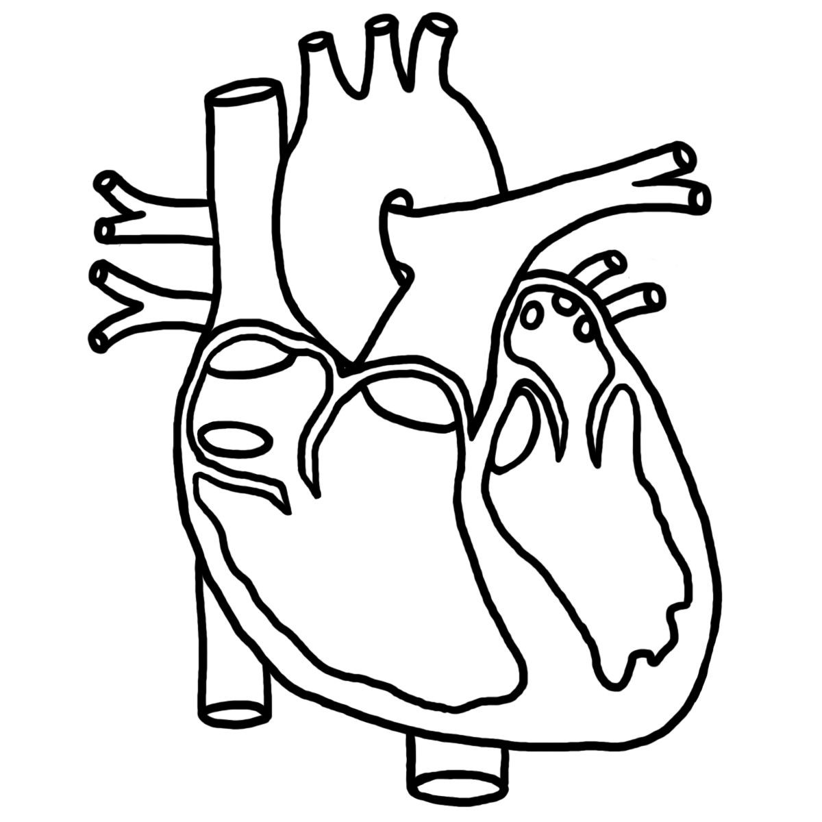 Printable Heart Diagram Human Anatomy Colouring Pages