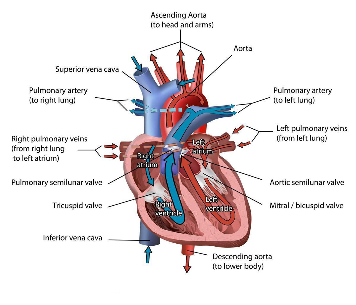 Printable Heart Diagram the Heart Of the Matter