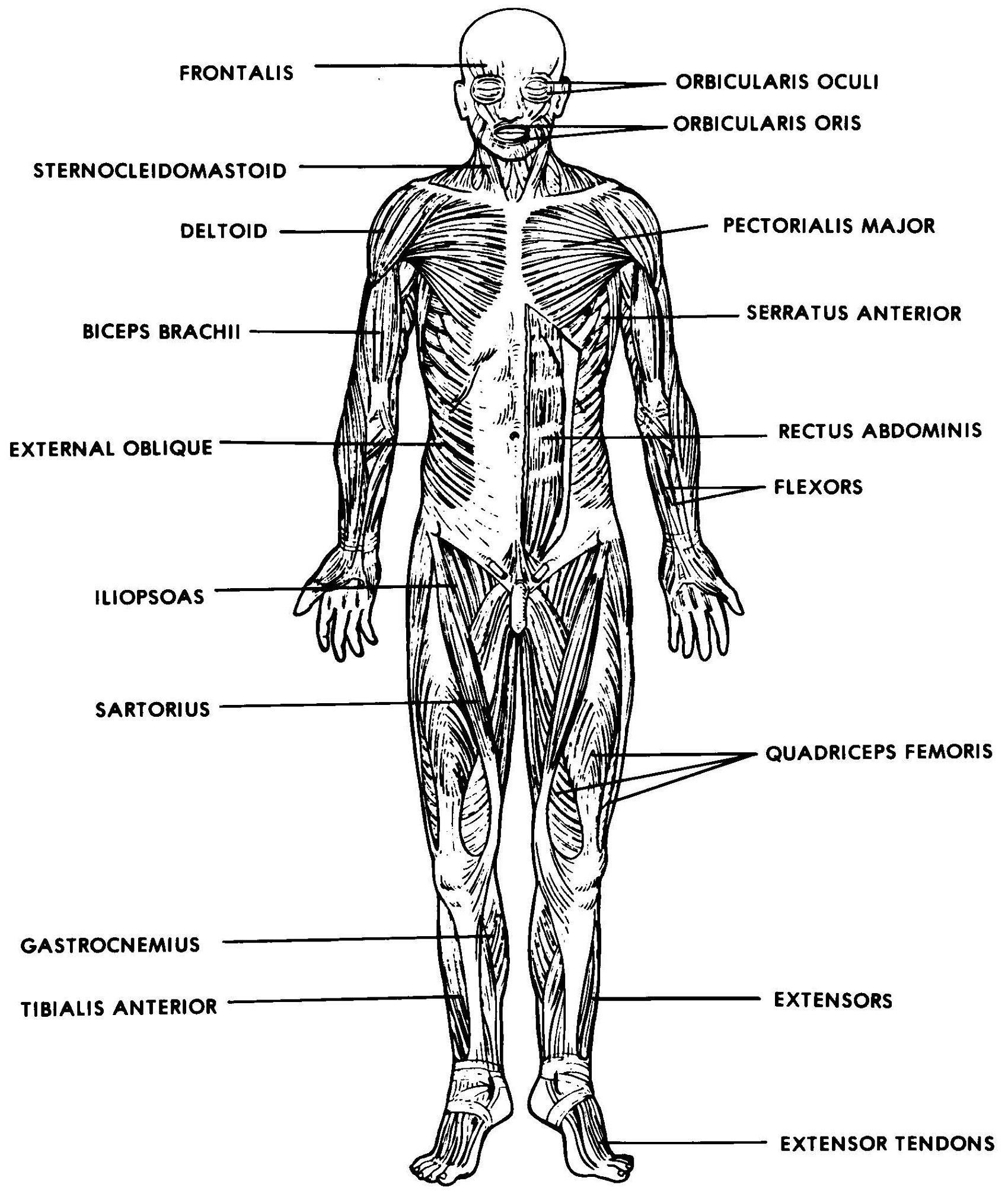 Printable Muscle Diagram Anatomy Drawing Medical the Muscular System Labeled the
