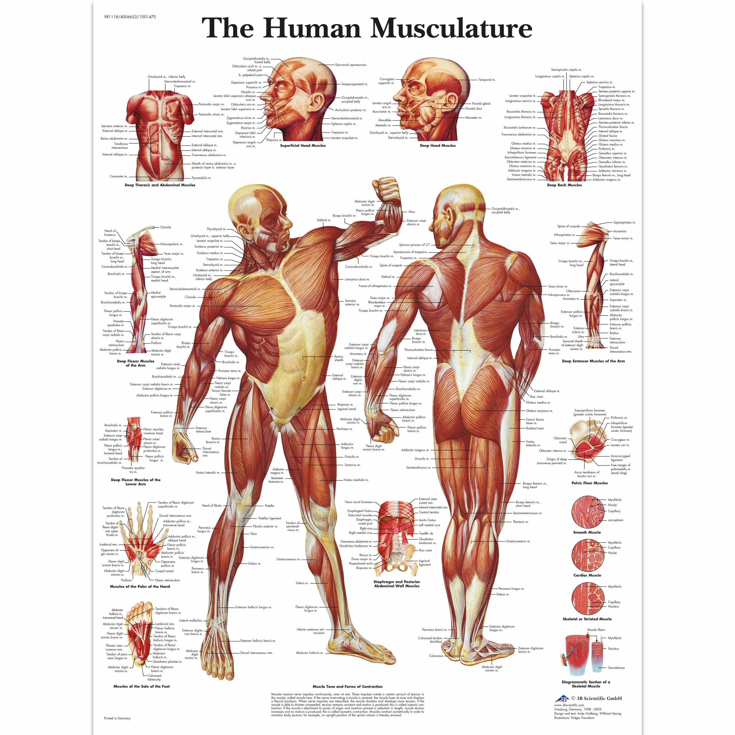 Printable Muscle Diagram Free Printable Human Muscle Chart