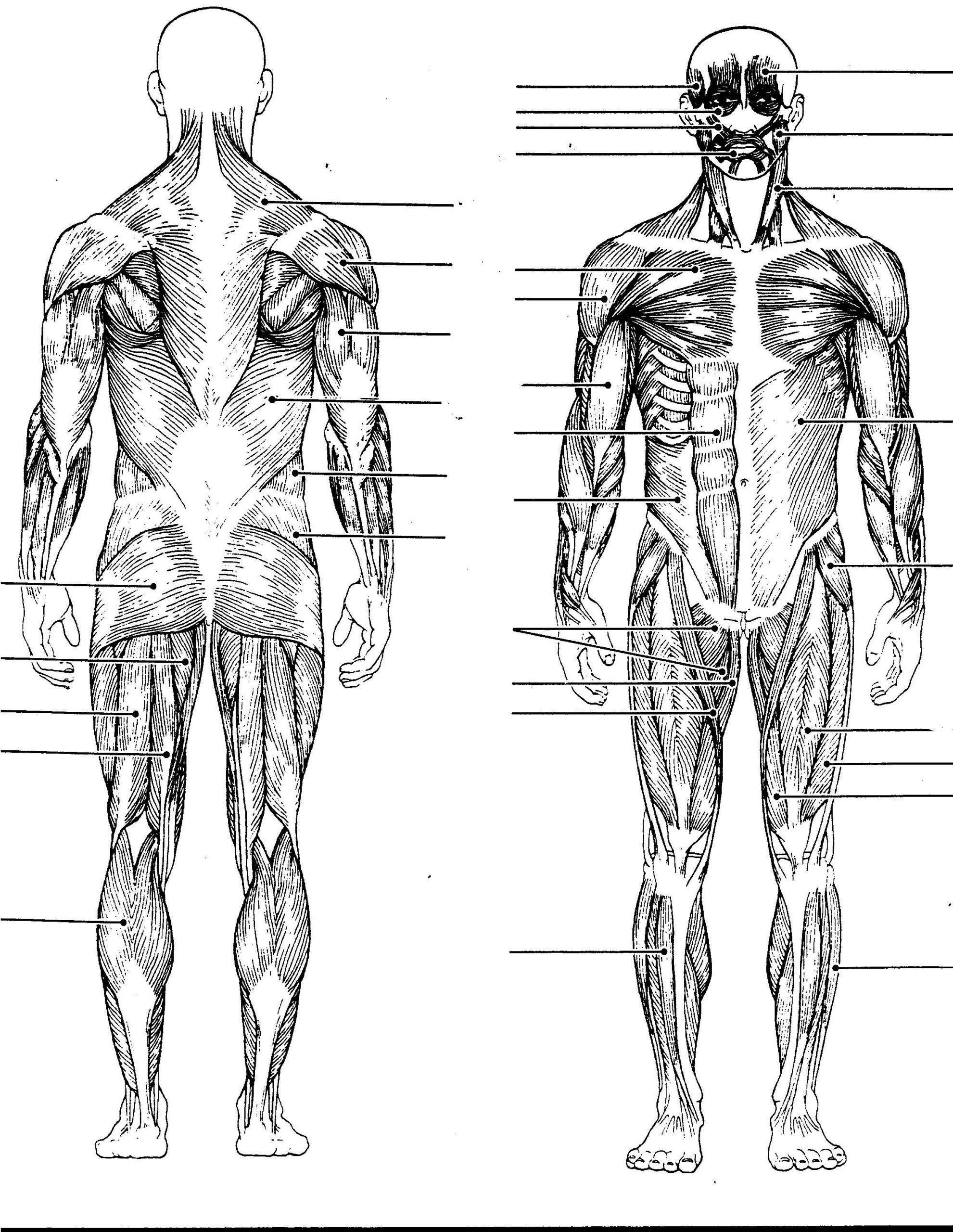 Printable Muscle Diagram Human Body Muscles Diagram without Labels Human Body Anatomy