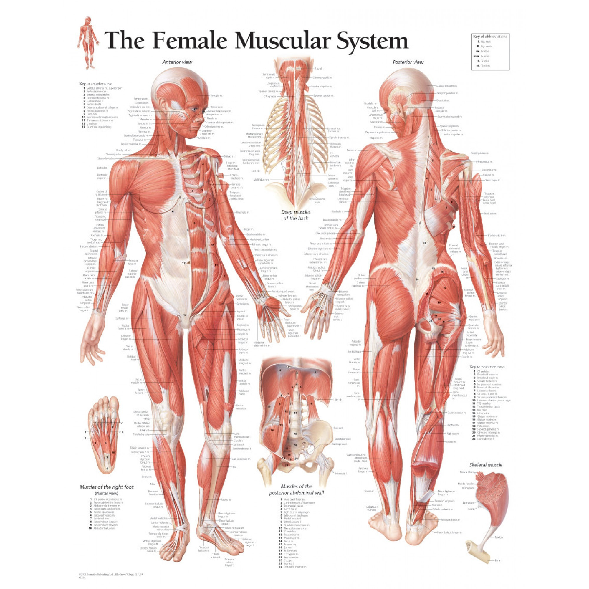 Printable Muscle Diagram Laminated Muscular System Female Educational Chart Poster