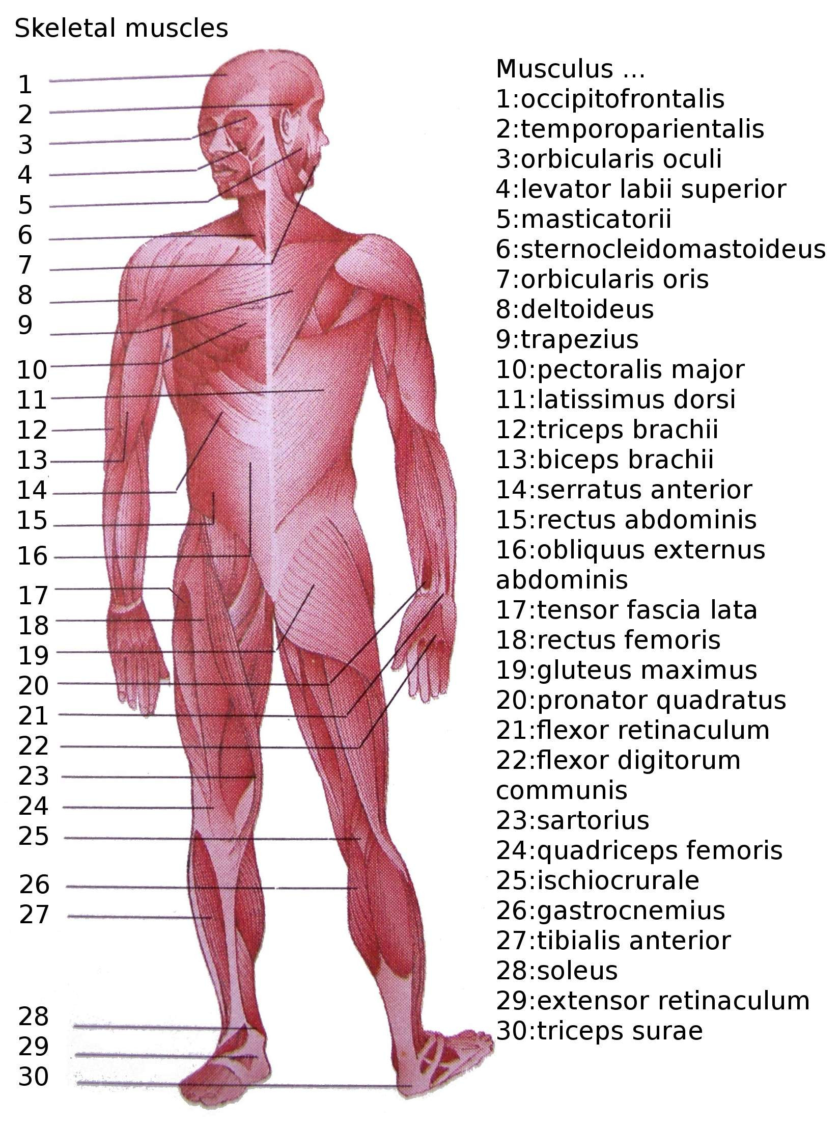 Printable Muscle Diagram List Of Skeletal Muscles Of the Human Body
