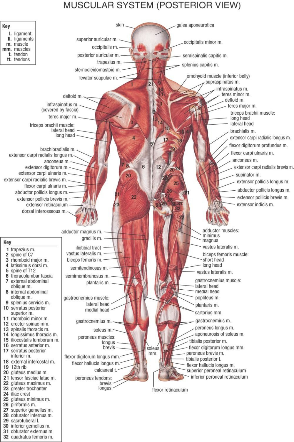 Printable Muscle Diagram Muscular System Chart Printable 1947 Google Search
