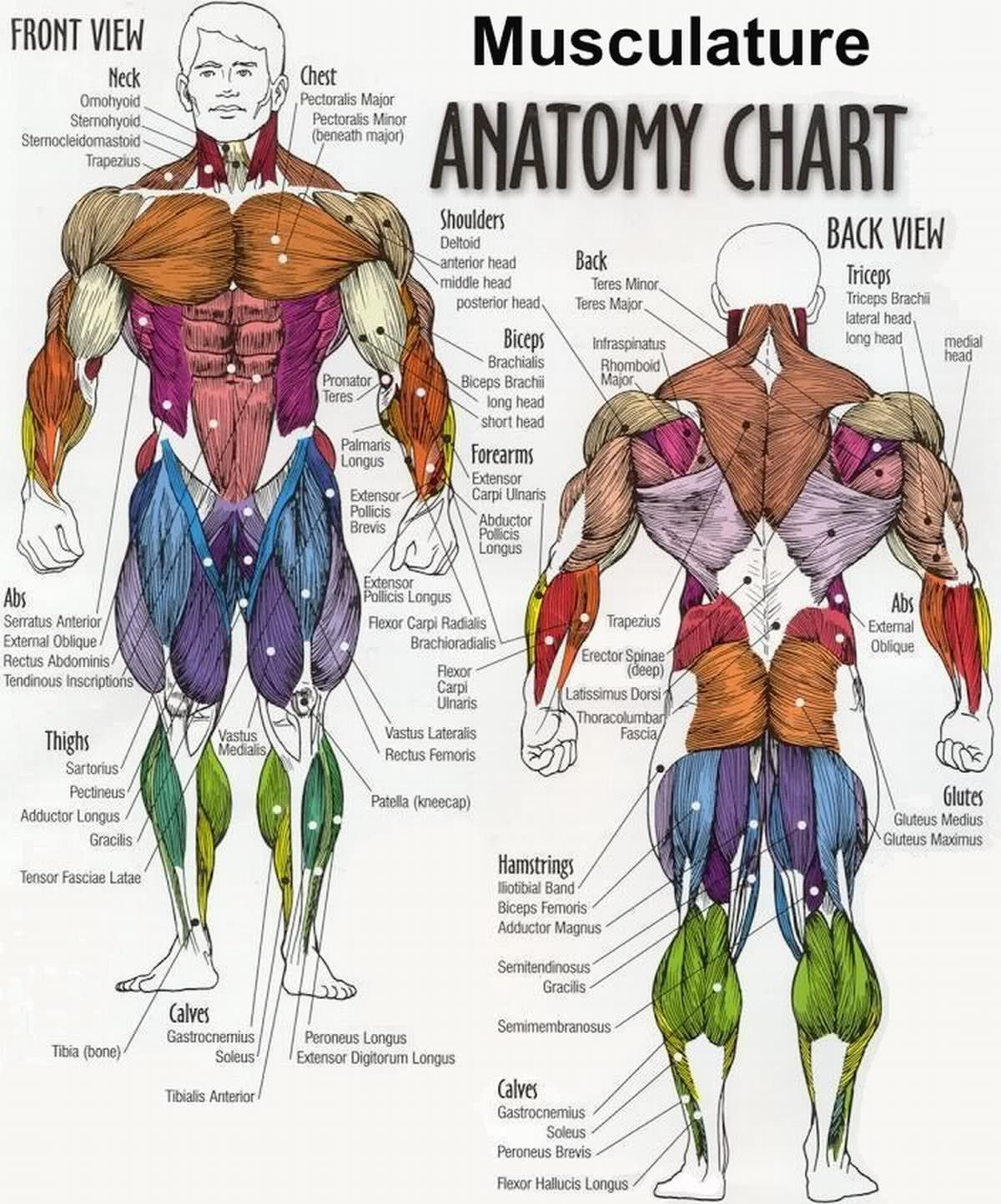 Printable Muscle Diagram Printable Muscle Diagram Human Body Human Muscle Anatomy