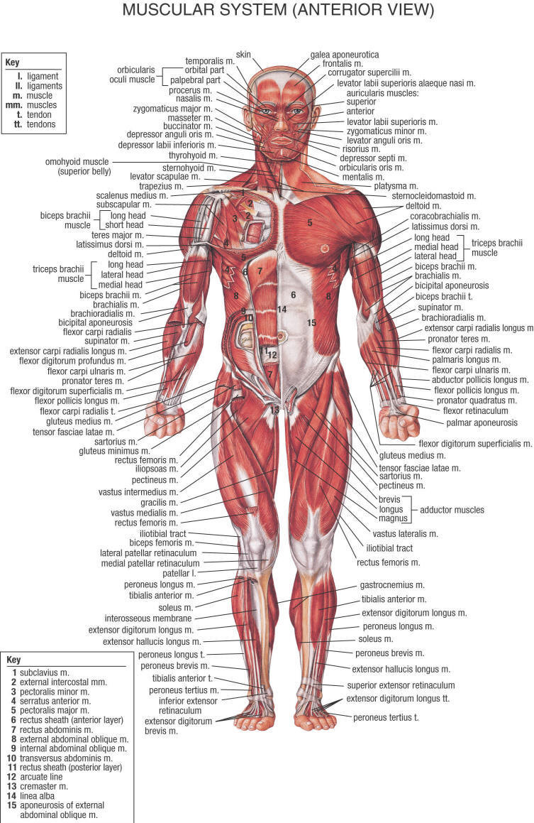 Printable Muscle Diagram Printable Muscle Diagram Medical Anatomy