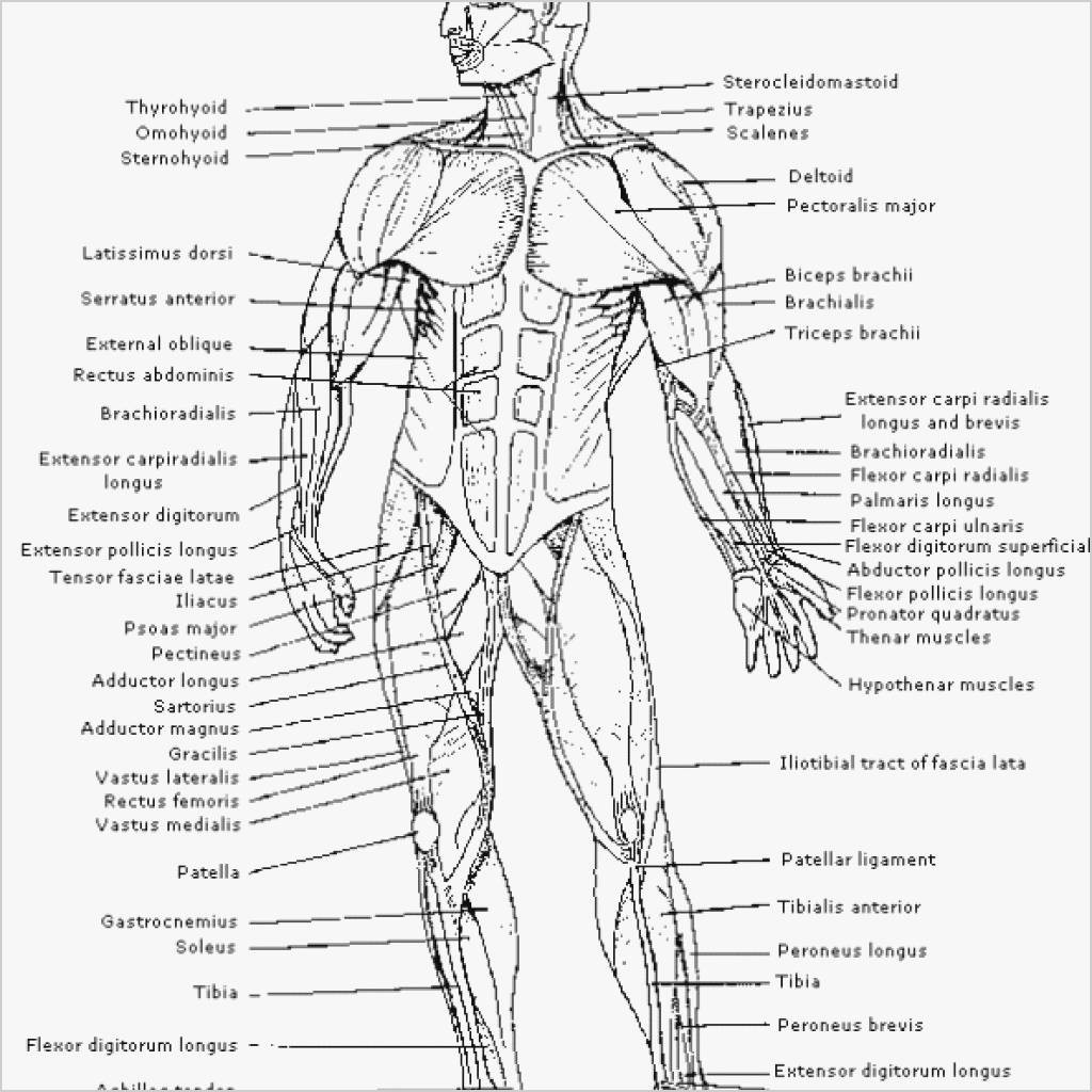 Printable Muscle Diagram Splendi Anatomy Coloring Pages Muscles Free In the Body