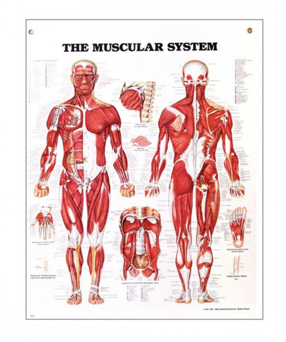 Printable Muscle Diagram the Muscular System Anatomical Chart
