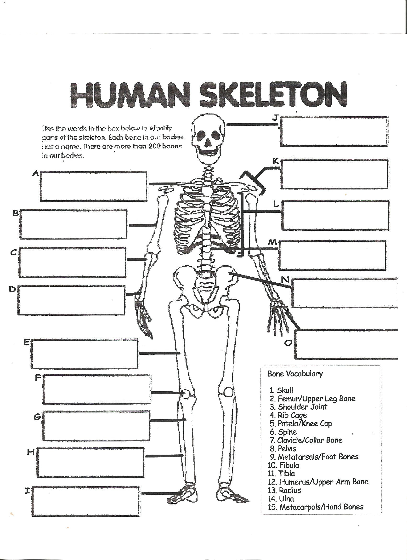Digestive System Worksheets Middle School Digestive System Labeling Worksheet Answers Human Skeleton