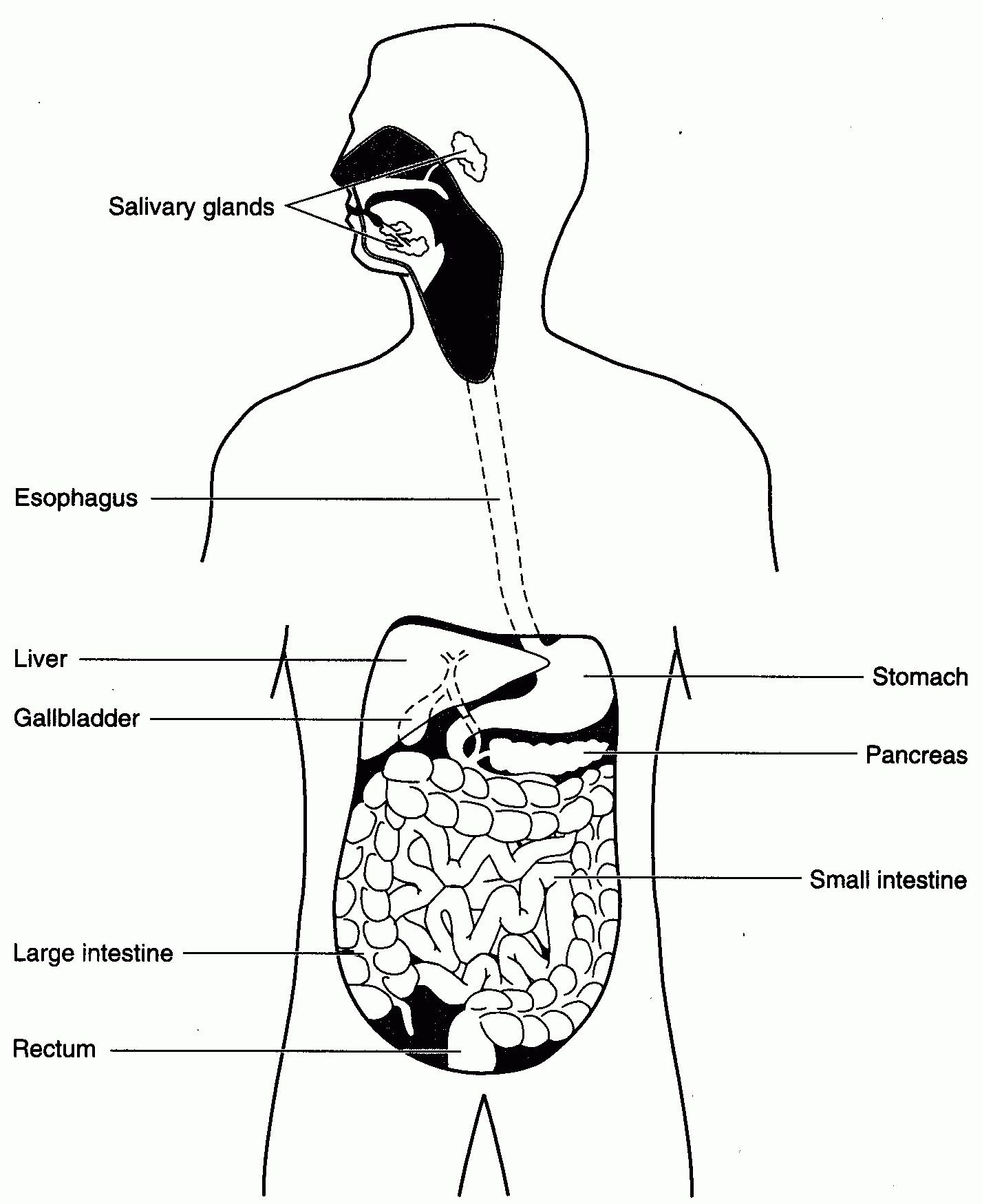 Digestive System Worksheets Middle School Image Result for Excretory System Diagram Worksheet