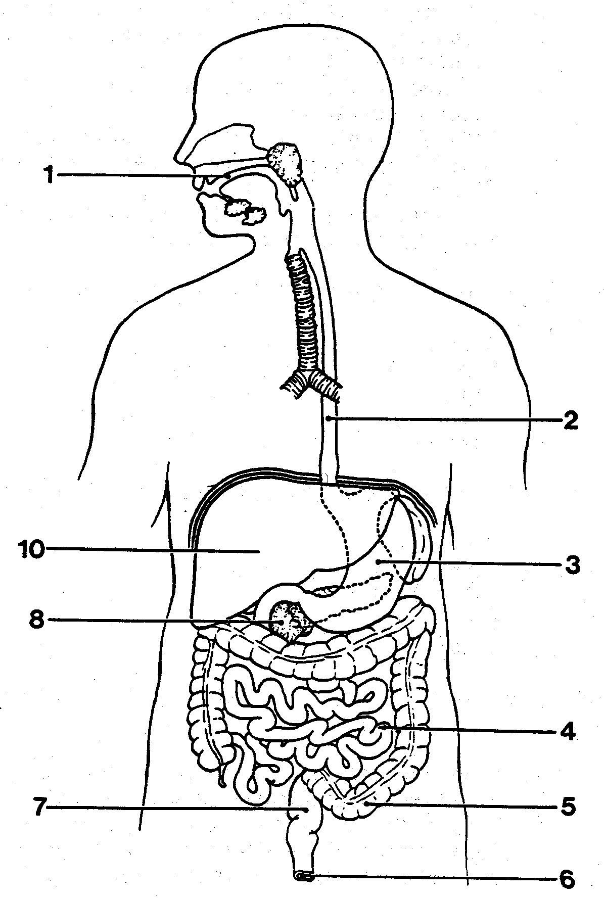 Digestive System Worksheets Middle School Readable the Human Digestive System Worksheet