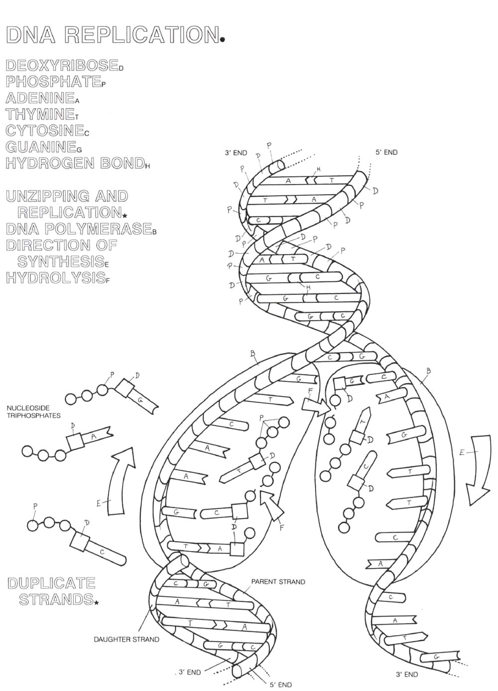 Dna Structure Worksheet High School 33 Structure Dna and Replication Worksheet Answers