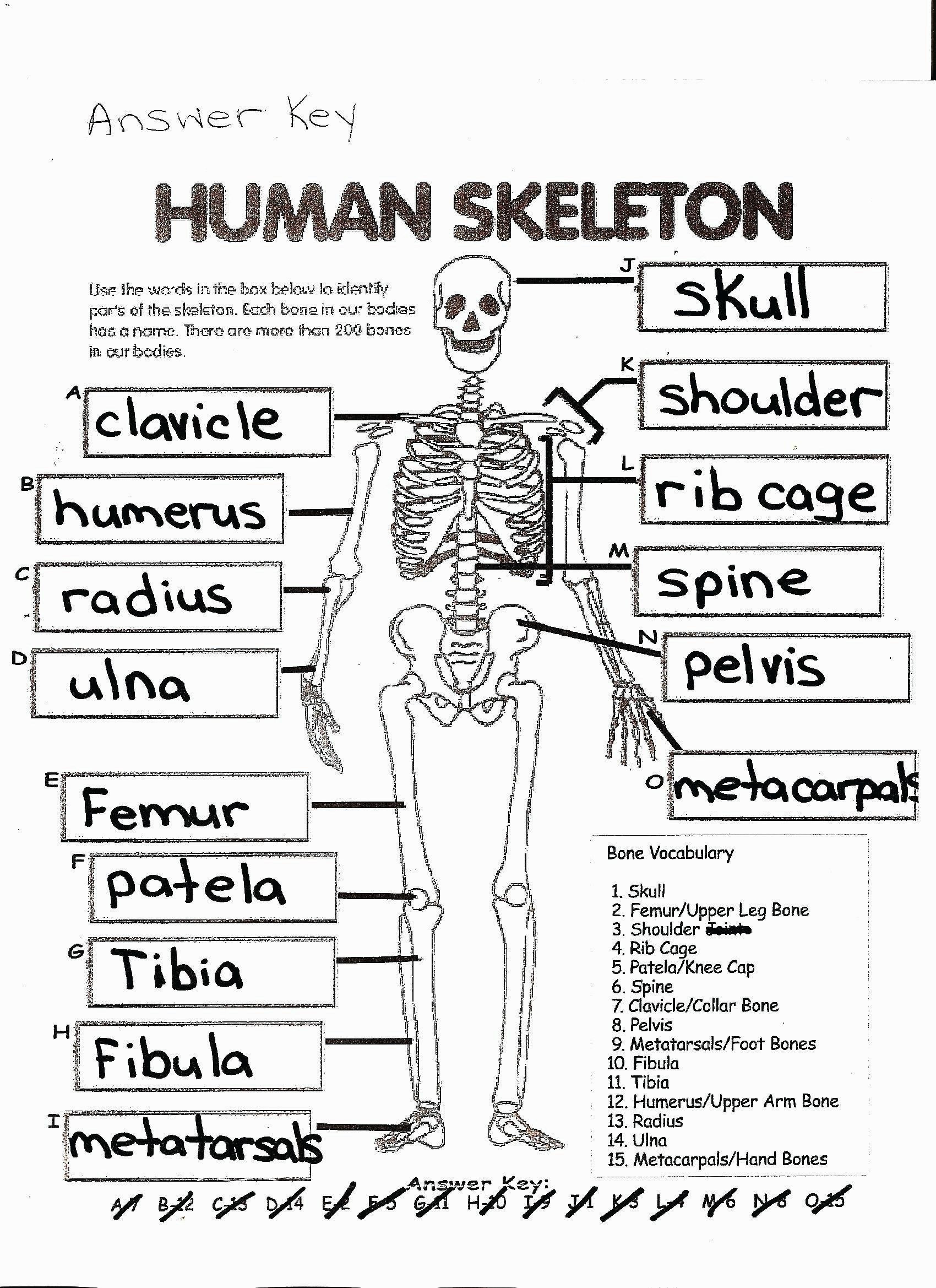 Free Printable Anatomy Worksheets Anatomy Coloring Pages Coloring Page Free Printable Human