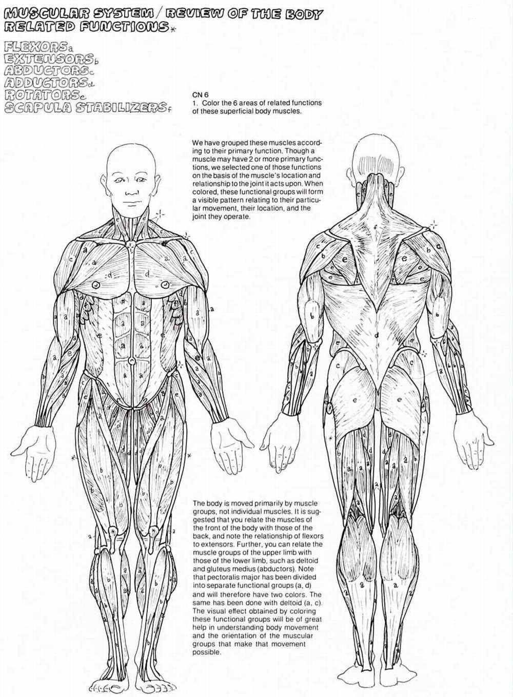 Free Printable Anatomy Worksheets Fantastic Anatomy Coloringok Pdf Image Inspirations Muscle