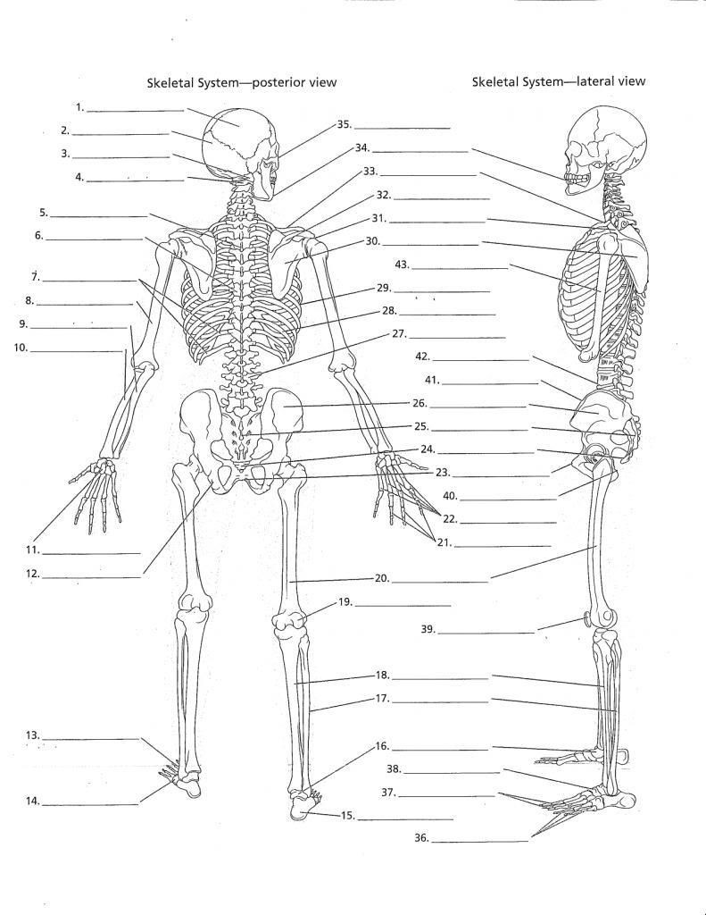 Free Printable Anatomy Worksheets Human Anatomy Worksheets