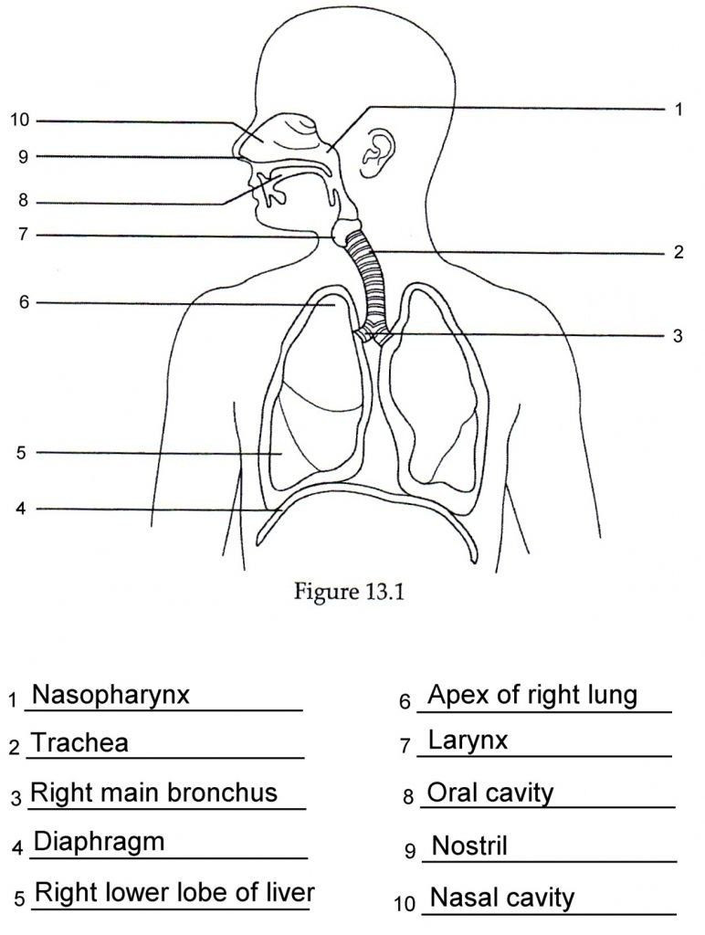Printable Anatomy Labeling Worksheets Human Anatomy Respiratory System Quiz In 2020