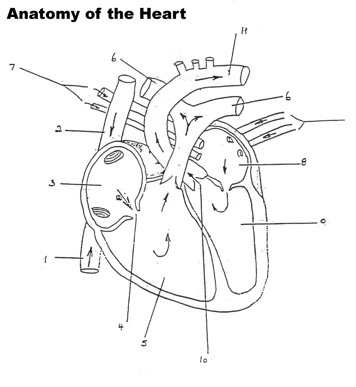 Printable Anatomy Labeling Worksheets Human Heart Worksheet Blank