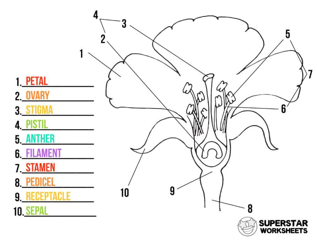 Printable Anatomy Labeling Worksheets Parts Of A Flower Worksheets Superstar Worksheets