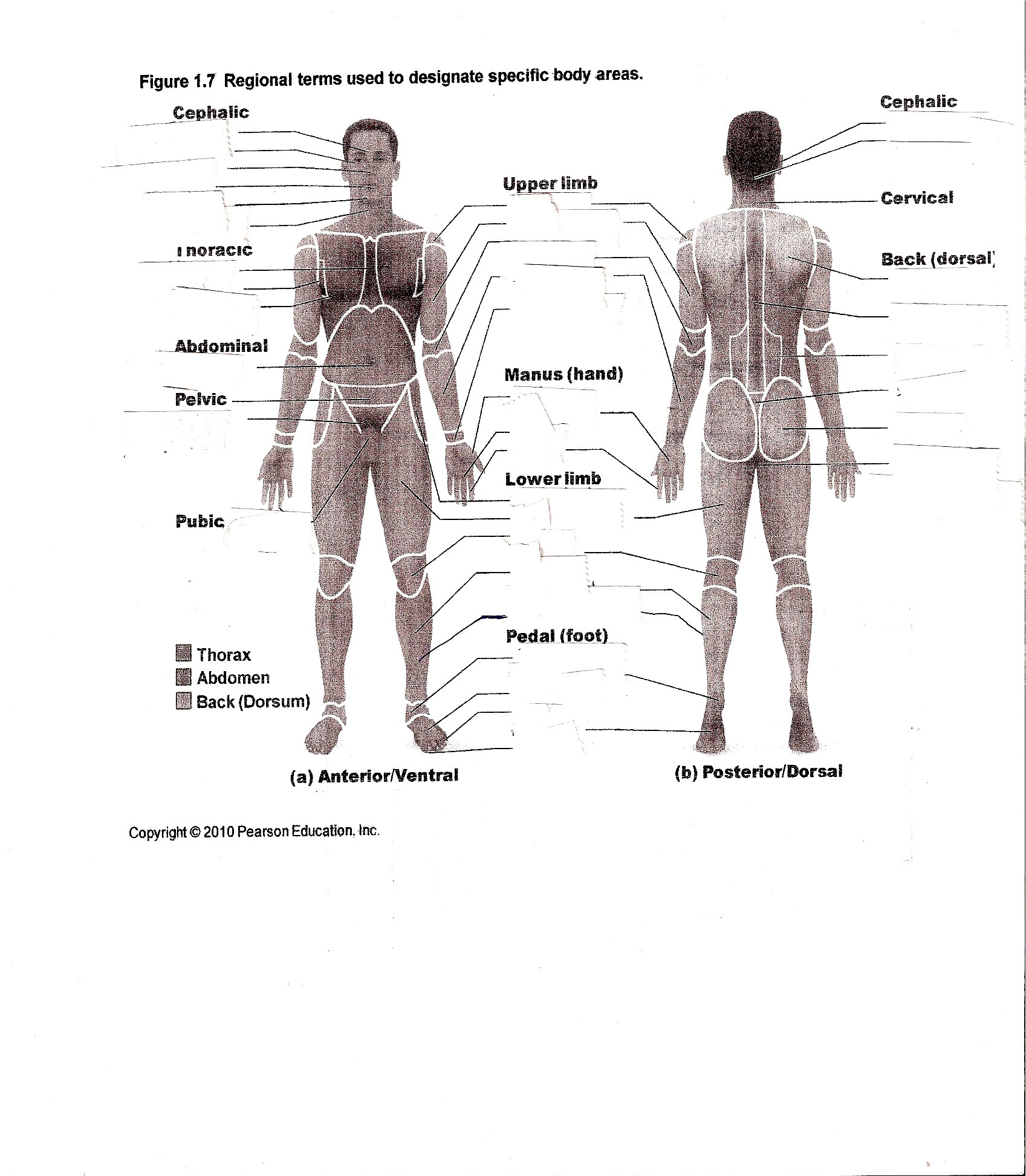 Printable Anatomy Worksheets Anatomy and Physiology Posterior Worksheet