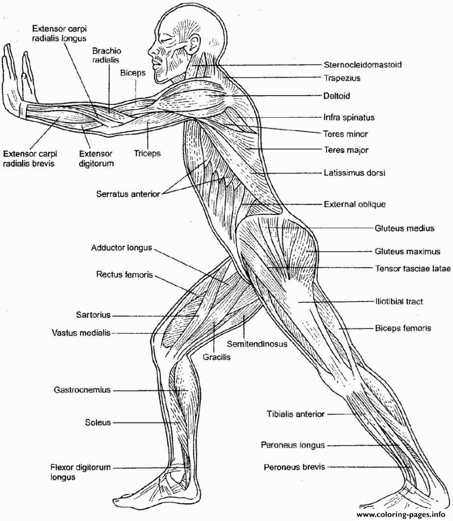 Printable Anatomy Worksheets Coloring Pages Free Printableomy Picture Inspirations Human