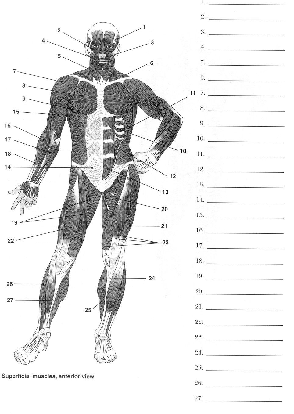 Printable Anatomy Worksheets Label Muscles Worksheet
