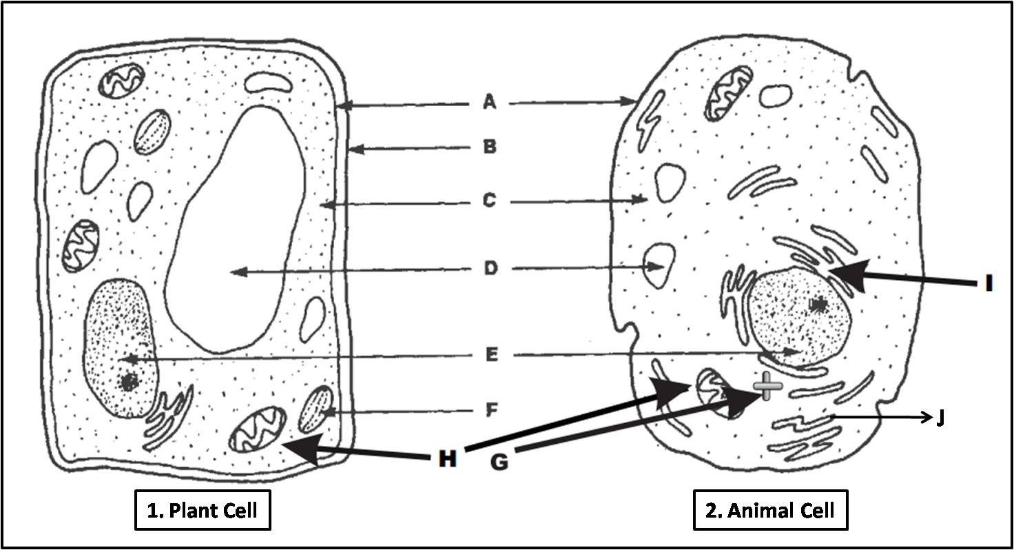 Printable Animal Cell Diagram Biology Multiple Choice Quizzes Plant Cell and Animal Cell