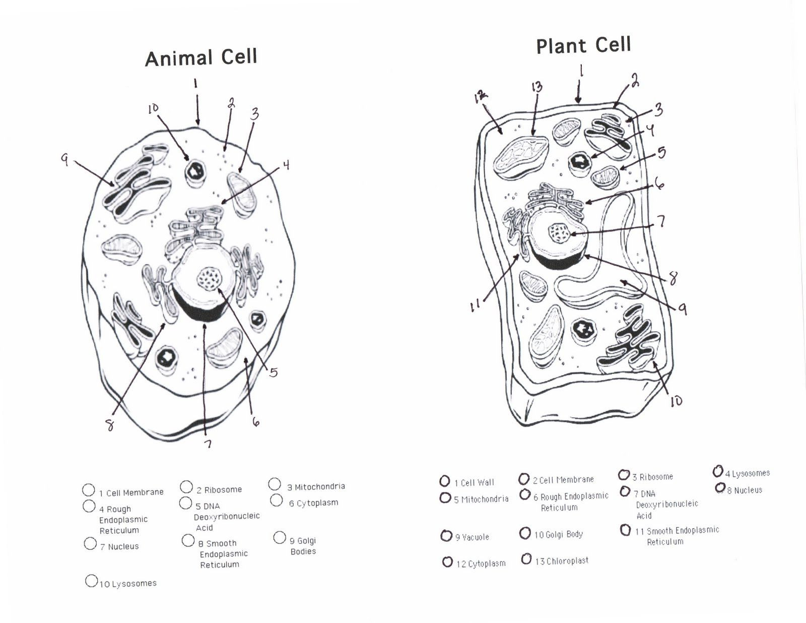 Printable Animal Cell Diagram Dr Gayden S Science Class April 2010