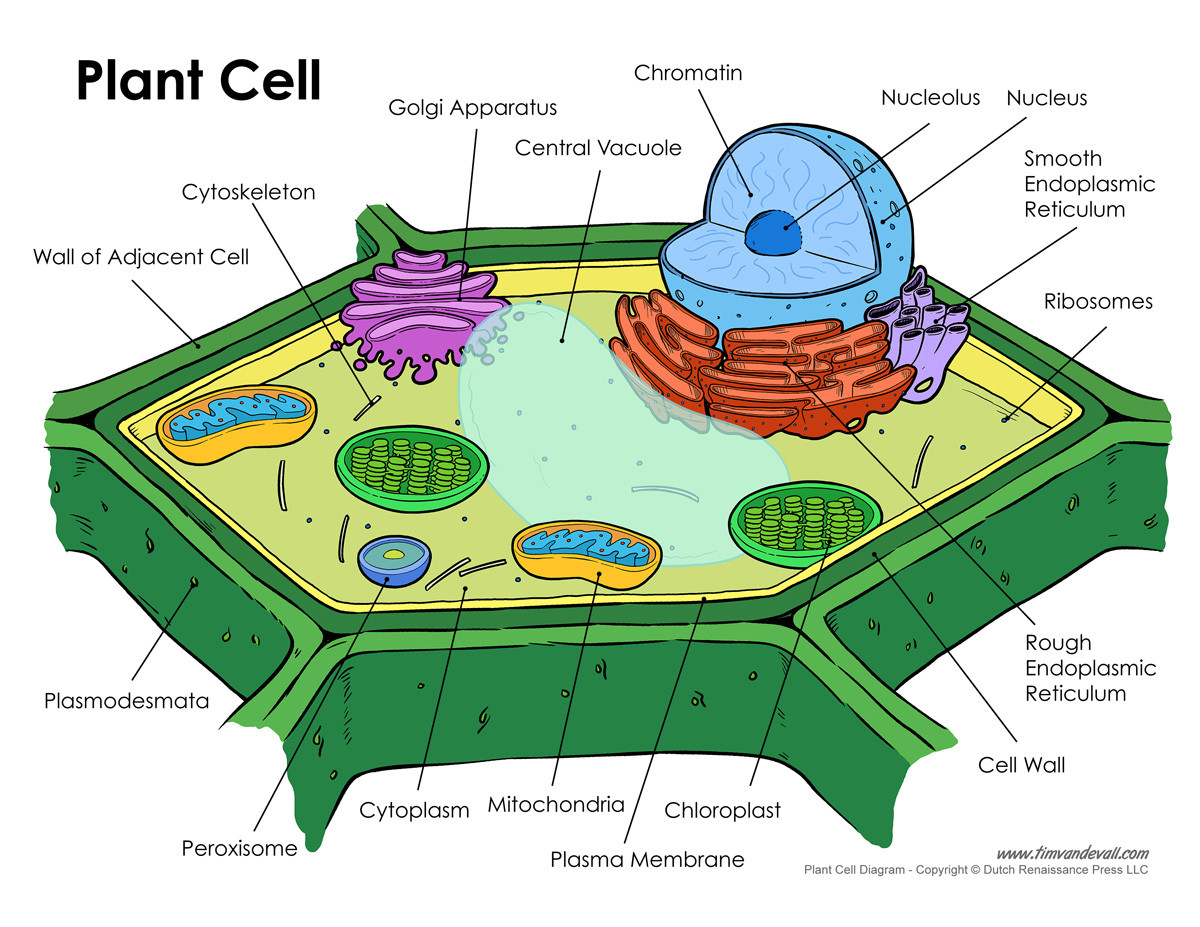 Printable Animal Cell Diagram Plant Cell Diagram Tim S Printables
