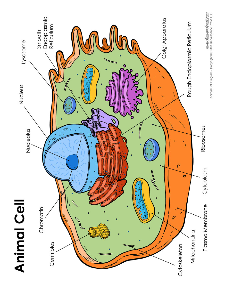 Printable Animal Cell Diagram Tr 3102] Simple Labelled Animal Cell Diagram Free Diagram