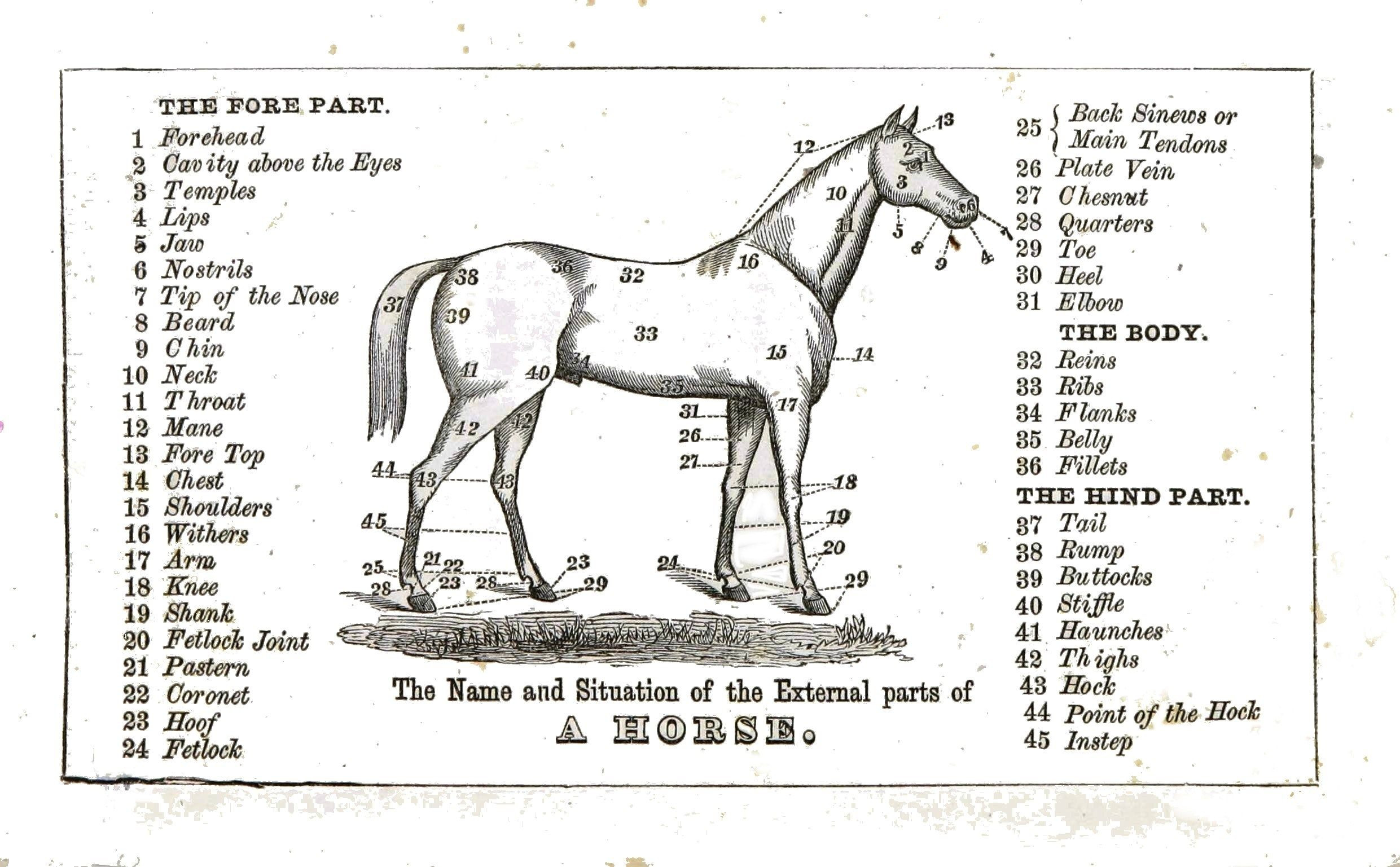 Printable Horse Anatomy Worksheets Saddle Diagram Worksheet