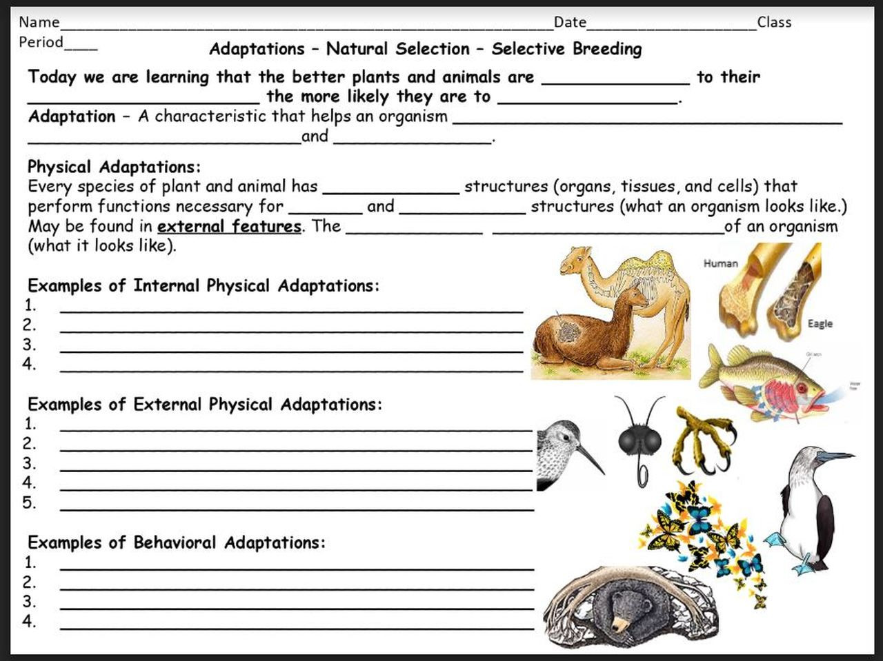 Selective Breeding Worksheet Middle School Adaptations Natural Selection Selective Breeding